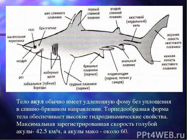 Тело акул обычно имеет удлененную фому без уплощения в спинно-брюшном направлении. Торпедообразная форма тела обеспечивает высокие гидродинамические свойства. Максимальная зарегистрированная скорость голубой акулы- 42.5 км/ч, а акулы мако - около 60.