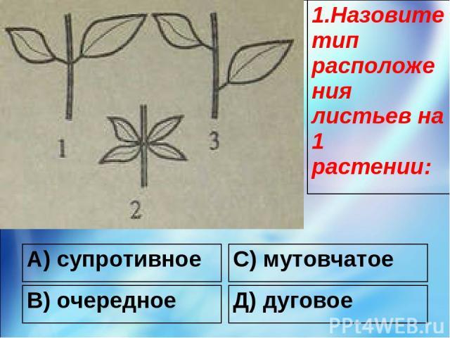 А) супротивное С) мутовчатое В) очередное Д) дуговое 1.Назовите тип расположения листьев на 1 растении: