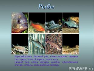 Рыбы Карпообразные. Верхний ряд, слева направо: пиранья Наттерера, золотой карас