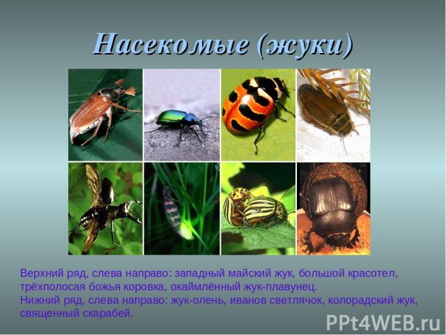 Насекомые (жуки) Верхний ряд, слева направо: западный майский жук, большой красотел, трёхполосая божья коровка, окаймлённый жук-плавунец. Нижний ряд, слева направо: жук-олень, иванов светлячок, колорадский жук, священный скарабей.