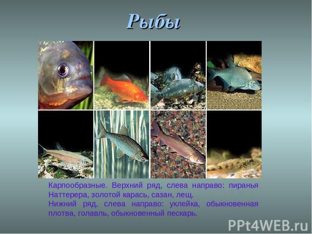 Рыбы Карпообразные. Верхний ряд, слева направо: пиранья Наттерера, золотой карась, сазан, лещ. Нижний ряд, слева направо: уклейка, обыкновенная плотва, голавль, обыкновенный пескарь.