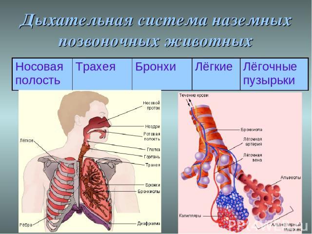 Дыхательная система наземных позвоночных животных Носовая полость Трахея Бронхи Лёгкие Лёгочные пузырьки