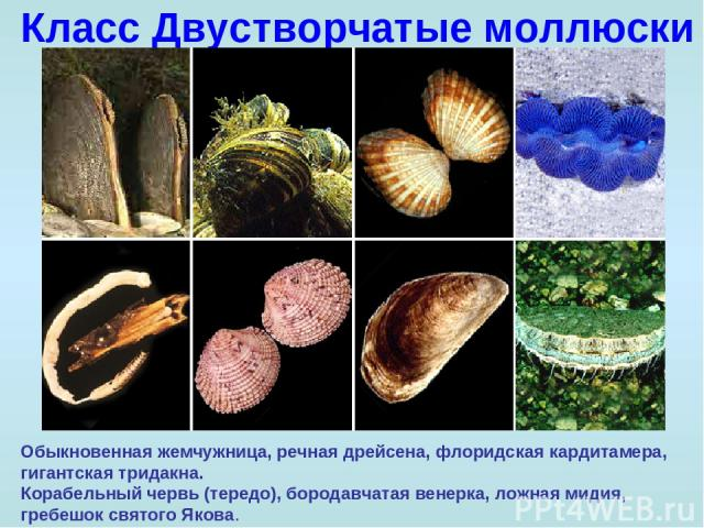 Класс Двустворчатые моллюски Обыкновенная жемчужница, речная дрейсена, флоридская кардитамера, гигантская тридакна. Корабельный червь (тередо), бородавчатая венерка, ложная мидия, гребешок святого Якова.