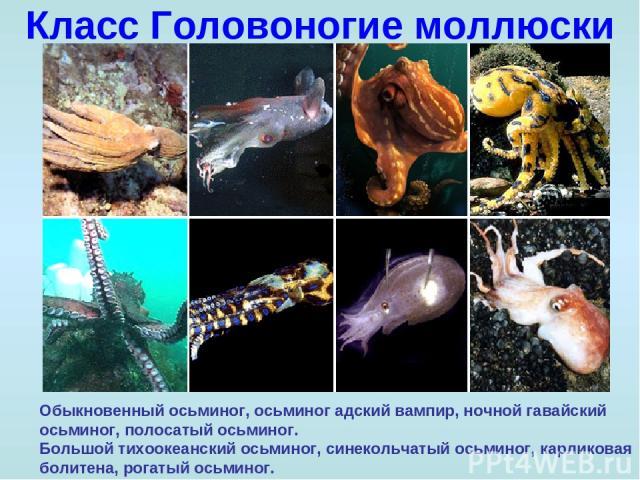 Класс Головоногие моллюски Обыкновенный осьминог, осьминог адский вампир, ночной гавайский осьминог, полосатый осьминог. Большой тихоокеанский осьминог, синекольчатый осьминог, карликовая болитена, рогатый осьминог.