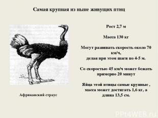 Африканский страус Рост 2,7 м Масса 130 кг Могут развивать скорость около 70 км/