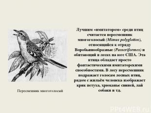 Лучшим «имитатором» среди птиц считается пересмешник многоголосый (Mimus polyglo