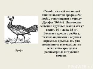 Самой тяжелой летающей птицей является дрофа (Otis tarda), относящаяся к отряду