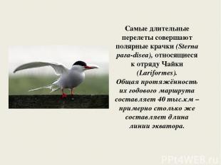 Самые длительные перелеты совершают полярные крачки (Sterna рага-disea), относящ