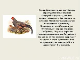 Самые большие гнезда-инкубаторы строят джунглевые курицы (Megapodius freycinee),