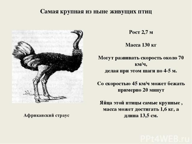 Африканский страус Рост 2,7 м Масса 130 кг Могут развивать скорость около 70 км/ч, делая при этом шаги по 4-5 м. Со скоростью 45 км/ч может бежать примерно 20 минут Яйца этой птицы самые крупные , масса может достигать 1,6 кг, а длина 13,5 см. Самая…