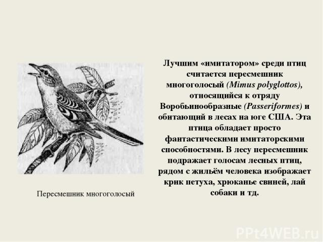 Лучшим «имитатором» среди птиц считается пересмешник многоголосый (Mimus polyglottos), относящийся к отряду Воробьинообразные (Passeriformes) и обитающий в лесах на юге США. Эта птица обладает просто фантастическими имитаторскими способностями. В ле…
