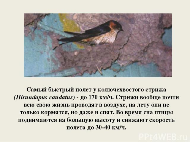 Самый быстрый полет у колючехвостого стрижа (Hirundapus caudatus) - до 170 км/ч. Стрижи вообще почти всю свою жизнь проводят в воздухе, на лету они не только кормятся, но даже и спят. Во время сна птицы поднимаются на большую высоту и снижают скорос…
