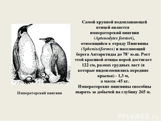 Императорский пингвин Самой крупной водоплавающей птицей является императорский пингвин (Aptenodytes forsteri), относящийся к отряду Пингвины (Sphenisciformes) и населяющий берега Антарктиды до 78° ю.ш. Рост этой красивой птицы порой достигает 122 с…