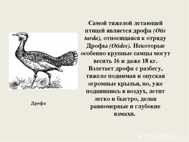Самой тяжелой летающей птицей является дрофа (Otis tarda), относящаяся к отряду Дрофы (Otides). Некоторые особенно крупные самцы могут весить 16 и даже 18 кг. Взлетает дрофа с разбегу, тяжело поднимая и опуская огромные крылья, но, уже поднявшись в …