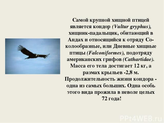 Самой крупной хищной птицей является кондор (Vultur gryphus), хищник-падалыцик, обитающий в Андах и относящийся к отряду Со-колообразные, или Дневные хищные птицы (Falconiformes), подотряду американских грифов (Cathartidae). Масса его тела достигает…