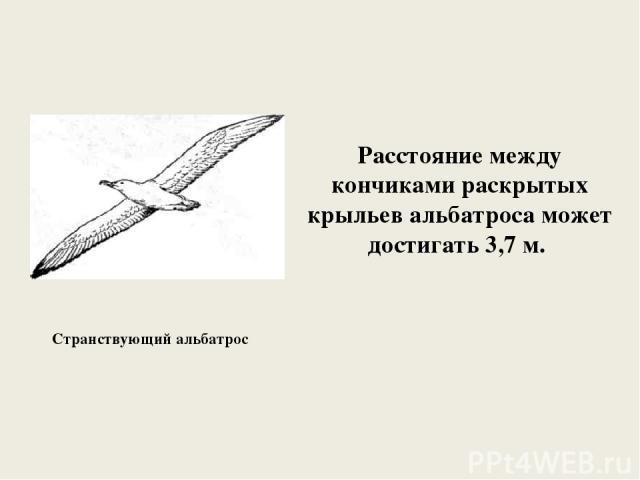 Странствующий альбатрос Расстояние между кончиками раскрытых крыльев альбатроса может достигать 3,7 м.