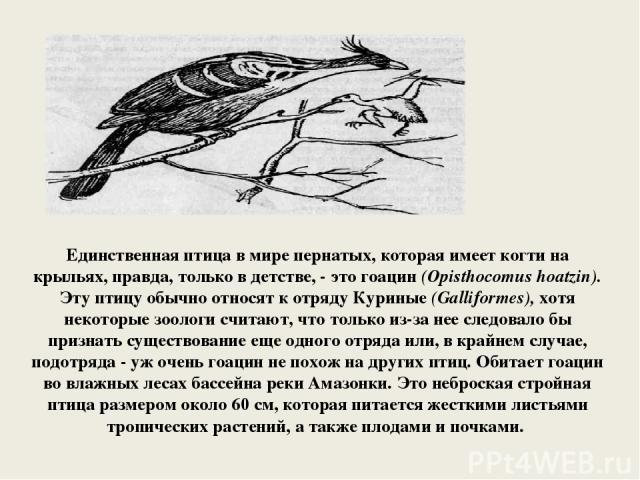 Единственная птица в мире пернатых, которая имеет когти на крыльях, правда, только в детстве, - это гоацин (Opisthocomus hoatzin). Эту птицу обычно относят к отряду Куриные (Galliformes), хотя некоторые зоологи считают, что только из-за нее следовал…