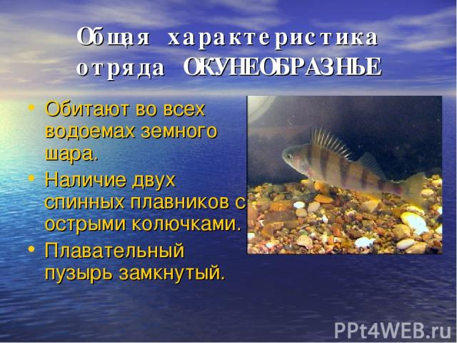 Общая характеристика отряда ОКУНЕОБРАЗНЫЕ Обитают во всех водоемах земного шара. Наличие двух спинных плавников с острыми колючками. Плавательный пузырь замкнутый.