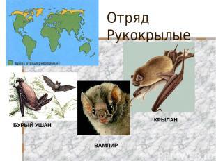 Отряд Рукокрылые БУРЫЙ УШАН ВАМПИР КРЫЛАН