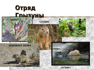 Отряд Грызуны БЕЛКА СОНЯ ЗЕМЛЯНАЯ БЕЛКА НУТРИЯ СУСЛИК