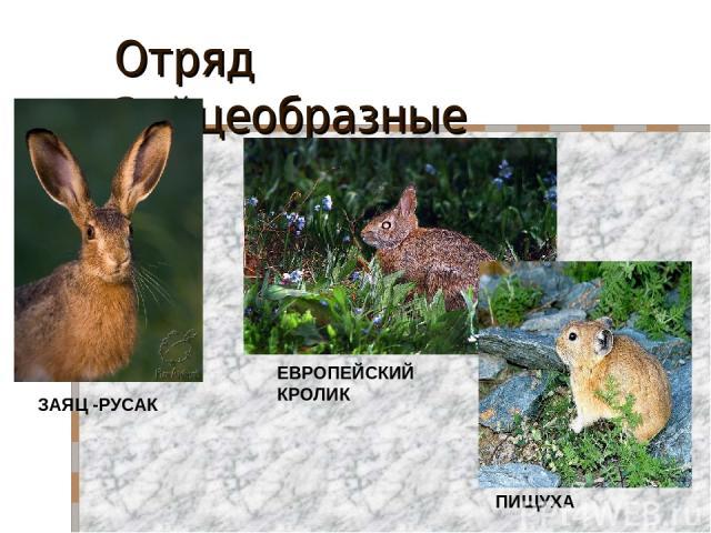 Отряд Зайцеобразные ЗАЯЦ -РУСАК ЕВРОПЕЙСКИЙ КРОЛИК ПИЩУХА