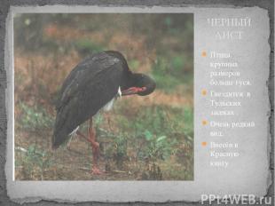 ЧЕРНЫЙ АИСТ Птица крупных размеров больше гуся. Гнездится в Тульских засеках . О