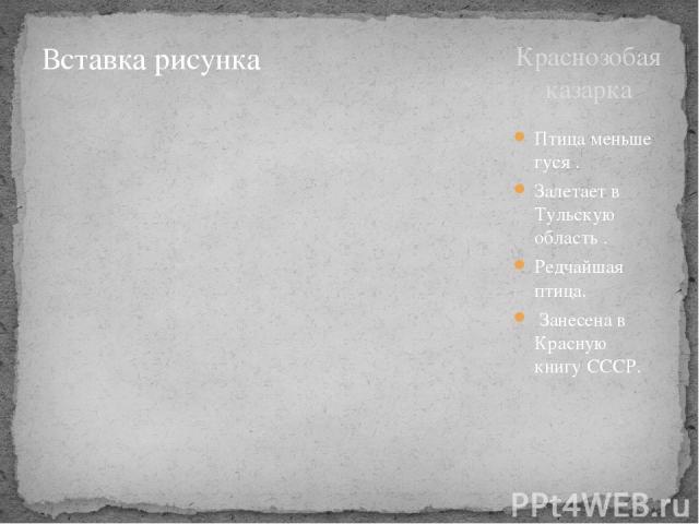 Краснозобая казарка Птица меньше гуся . Залетает в Тульскую область . Редчайшая птица. Занесена в Красную книгу СССР.