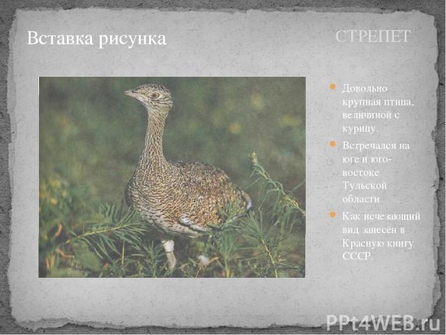 СТРЕПЕТ Довольно крупная птица, величиной с курицу. Встречался на юге и юго-востоке Тульской области Как исчезающий вид занесён в Красную книгу СССР.
