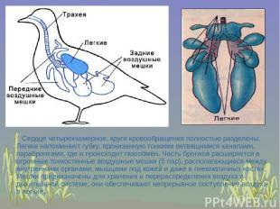 Сердце четырехкамерное, круги кровообращения полностью разделены. Легкие напомин