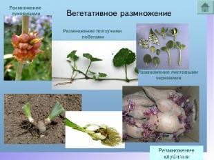 Размножение клубнями Размножение луковицами Размножение ползучими побегами Размн