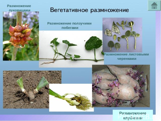 Размножение клубнями Размножение луковицами Размножение ползучими побегами Размножение листовыми черенками