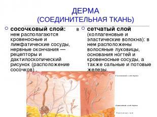 ДЕРМА (СОЕДИНИТЕЛЬНАЯ ТКАНЬ) сосочковый слой: в нем располагаются кровеносные и