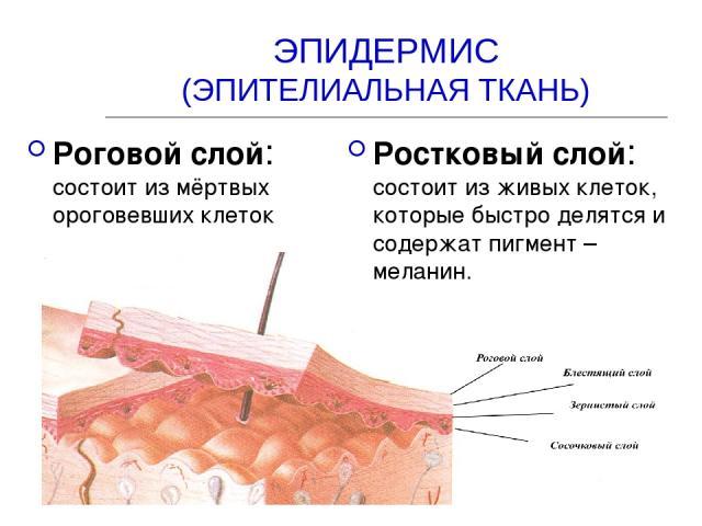 ЭПИДЕРМИС (ЭПИТЕЛИАЛЬНАЯ ТКАНЬ) Роговой слой: состоит из мёртвых ороговевших клеток Ростковый слой: состоит из живых клеток, которые быстро делятся и содержат пигмент – меланин.
