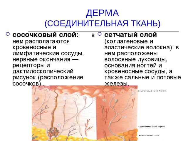 ДЕРМА (СОЕДИНИТЕЛЬНАЯ ТКАНЬ) сосочковый слой: в нем располагаются кровеносные и лимфатические сосуды, нервные окончания — рецепторы и дактилоскопический рисунок (расположение сосочков) . сетчатый слой (коллагеновые и эластические волокна): в нем рас…