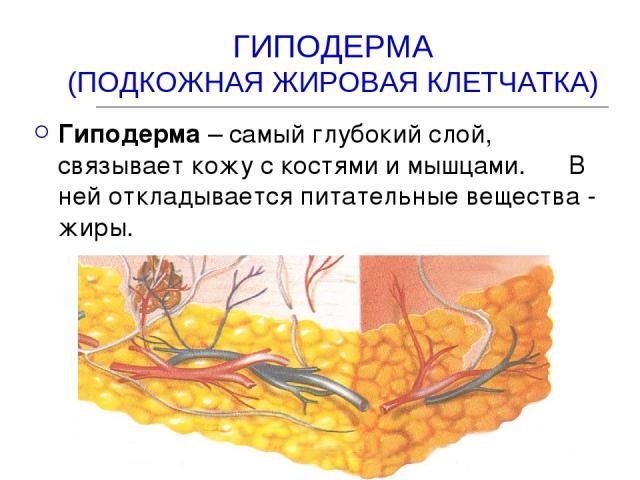 ГИПОДЕРМА (ПОДКОЖНАЯ ЖИРОВАЯ КЛЕТЧАТКА) Гиподерма – самый глубокий слой, связывает кожу с костями и мышцами. В ней откладывается питательные вещества - жиры.