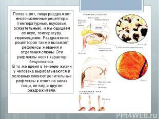 Попав в рот, пища раздражает многочисленные рецепторы (температурные, вкусовые,