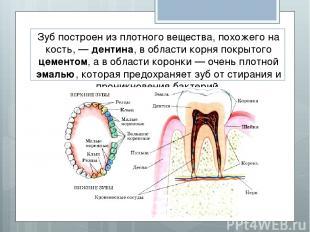 Зуб построен из плотного вещества, похожего на кость, — дентина, в области корня
