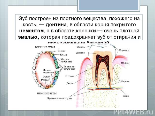 Зуб построен из плотного вещества, похожего на кость, — дентина, в области корня покрытого цементом, а в области коронки — очень плотной эмалью, которая предохраняет зуб от стирания и проникновения бактерий.