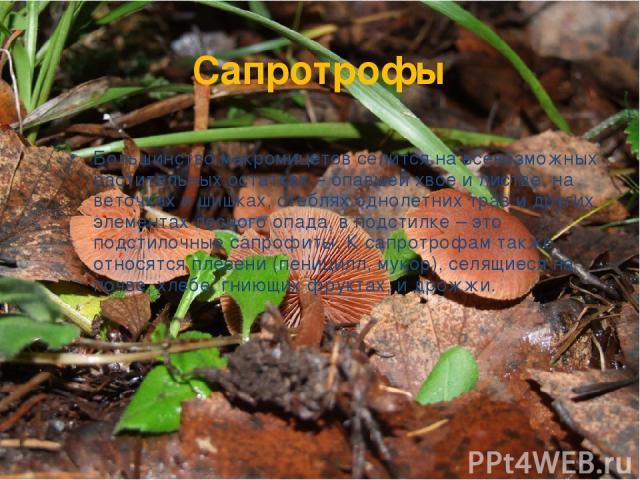 Сапротрофы Большинство макромицетов селится на всевозможных растительных остатках – опавшей хвое и листве, на веточках и шишках, стеблях однолетних трав и других элементах лесного опада, в подстилке – это подстилочные сапрофиты. К сапротрофам также …