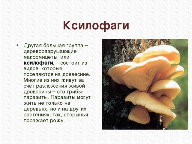 Ксилофаги Другая большая группа – дереворазрушающие макромицеты, или ксилофаги, – состоит из видов, которые поселяются на древесине. Многие из них живут за счёт разложения живой древесины – это грибы-паразиты. Паразиты могут жить не только на деревь…