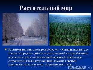 Растительный мир Растительный мир лесов разнообразен: «Мягкий, нежный лес. Ель р
