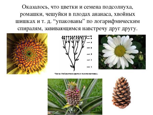 """Оказалось, что цветки и семена подсолнуха, ромашки, чешуйки в плодах ананаса, хвойных шишках и т. д. """"упакованы"""" по логарифмическим спиралям, завивающимся навстречу друг другу."""