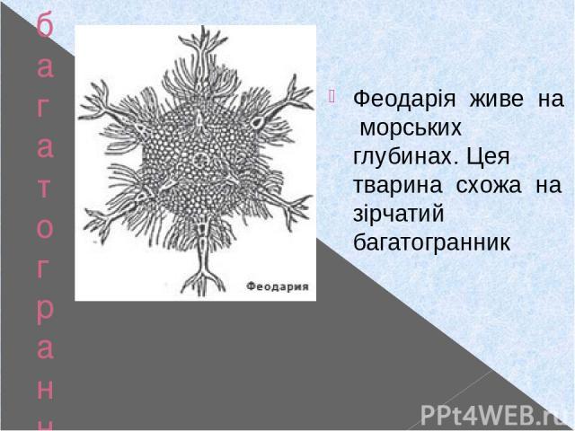 багатогранники у природі Феодарія Феодарія живе на морських глубинах. Цея тварина схожа на зірчатий багатогранник