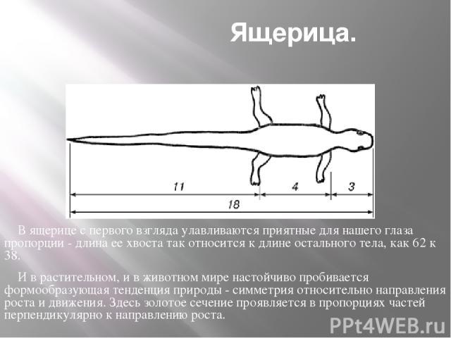 Ящерица. В ящерице с первого взгляда улавливаются приятные для нашего глаза пропорции - длина ее хвоста так относится к длине остального тела, как 62 к 38. И в растительном, и в животном мире настойчиво пробивается формообразующая тенденция природы …