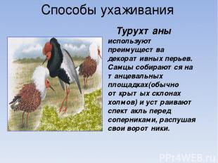 Способы ухаживания Турухтаны используют преимущества декоративных перьев. Самцы
