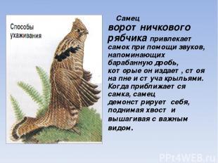 Самец воротничкового рябчика привлекает самок при помощи звуков, напоминающих ба