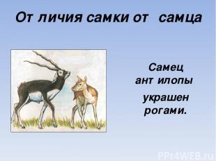 Отличия самки от самца Самец антилопы украшен рогами.