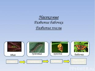 Насекомые Развитие бабочки Развитие пчелы гугу гусеница яя яйца куколка бабочка