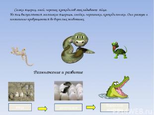 Самки ящериц, змей, черепах, крокодилов откладывают яйца. Из яиц вылупляются мал