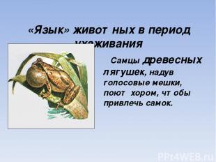 «Язык» животных в период ухаживания Самцы древесных лягушек, надув голосовые меш